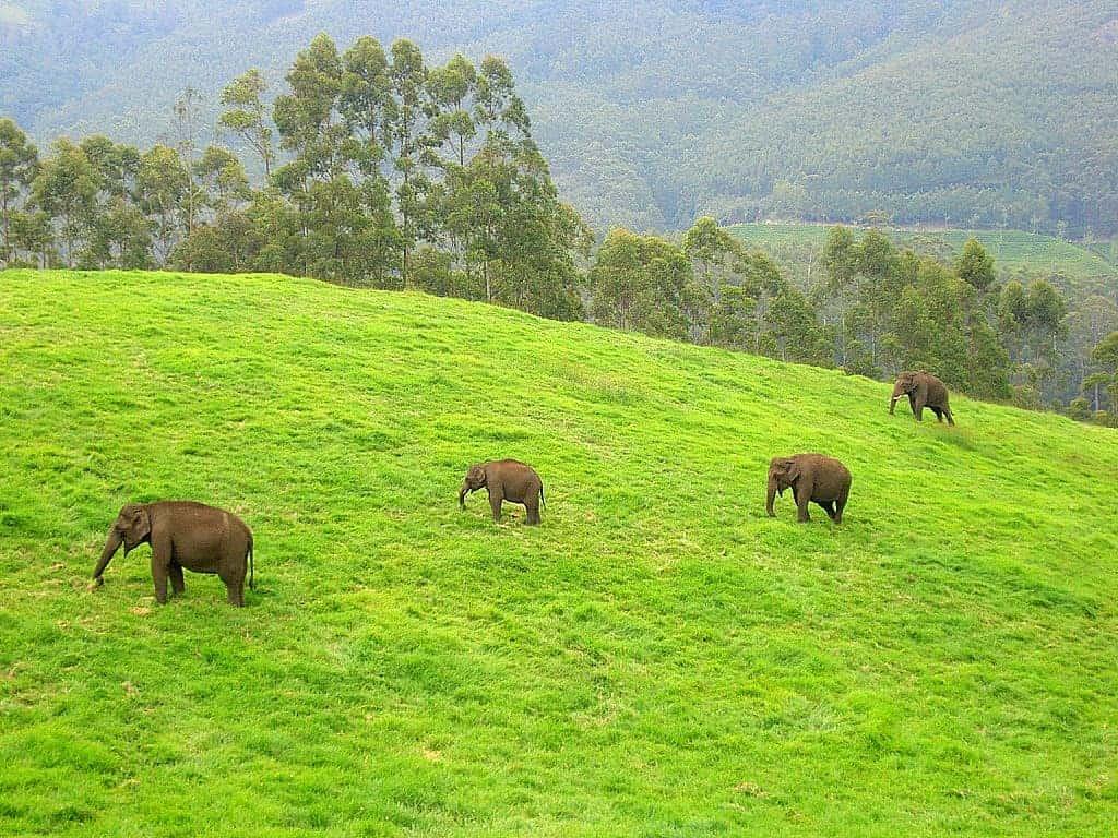 Wild elephants in Munnar.