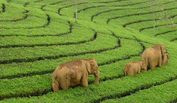 Wild Elephants grazing Tea Gardens