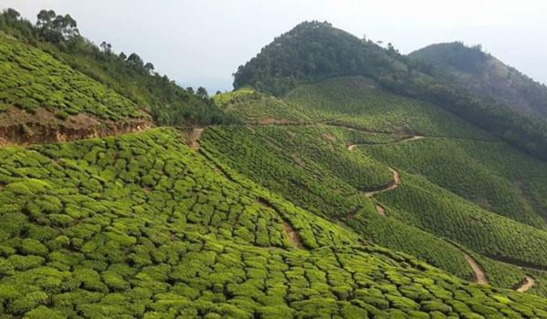 Tea estate amazing view