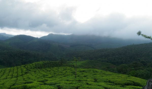 Tea Estate at Munnar