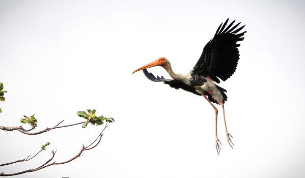 Black stork at Kumarakom Bird Sanctuary